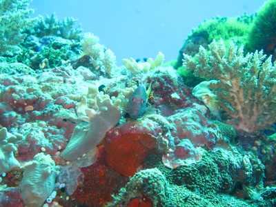 Northern Cebu: Diving in Malapascua 25