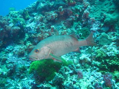 Northern Cebu: Diving in Malapascua 26