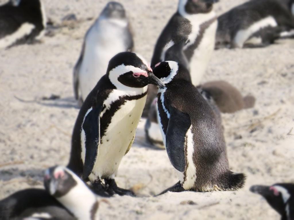 Simons Town Penguins Capetown
