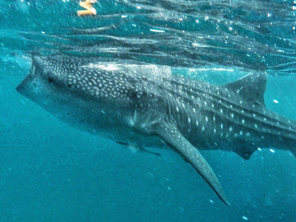 whaleshark in oslob