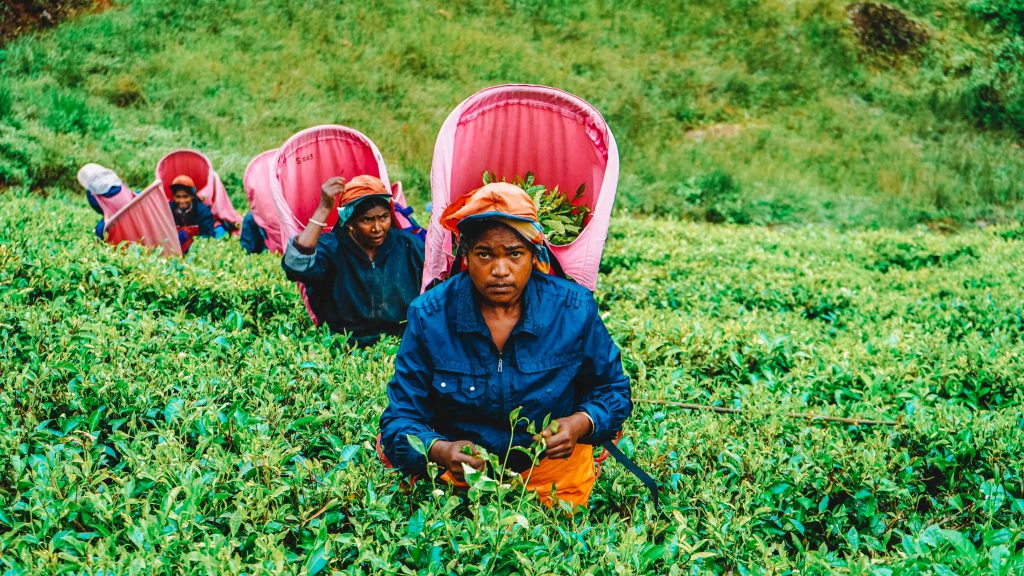 Nuwara Eliya Tea Plantatioon